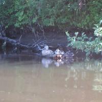 La rivière accueille également plusieurs sortes d'oiseaux comme ces quelques oies qui viennent s'y reposer et profiter pleinement du réconfort qu'elle offre. N'étant pas les seuls à en dépendre, il est d'autant plus important, pour nous, de préserver sa qualité pour que toutes les espèces d'animaux y trouvent un refuge paisible et réconfortant.