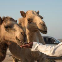 Bédouin des sables avec ses dromadaires à l'heure de l'alimentation à Île de Masirah. Photo Diane Brault