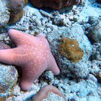 Étoile de mer. Raa Atoll. – Photo Diane Brault