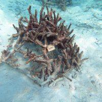 Goidhoo Atoll. Projet scientifique d'implantation de colonies de corail. – Photo Diane Brault
